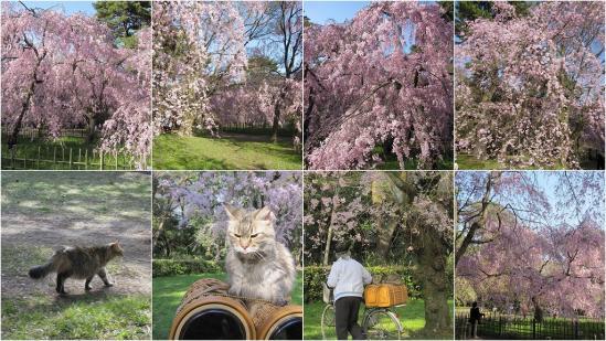 s-2011-04-13 二条城と京都御苑6