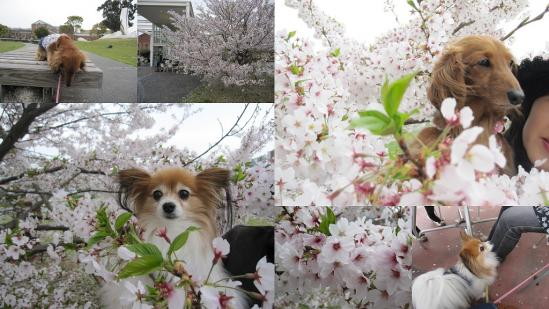 s-2011-04-16 花さじきと淡路島公園1