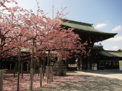 宮地嶽神社 緋寒桜