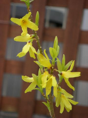 黄葉レンギョウ