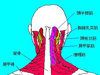 首・肩周りの筋群