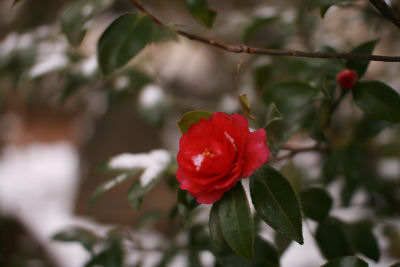 つばきの花