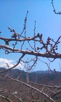 桃つぼみ2