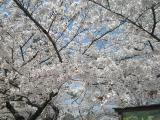 嵐山へお花見 004