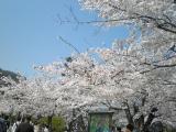 嵐山へお花見 003