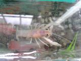 ザリガニと稚魚 004