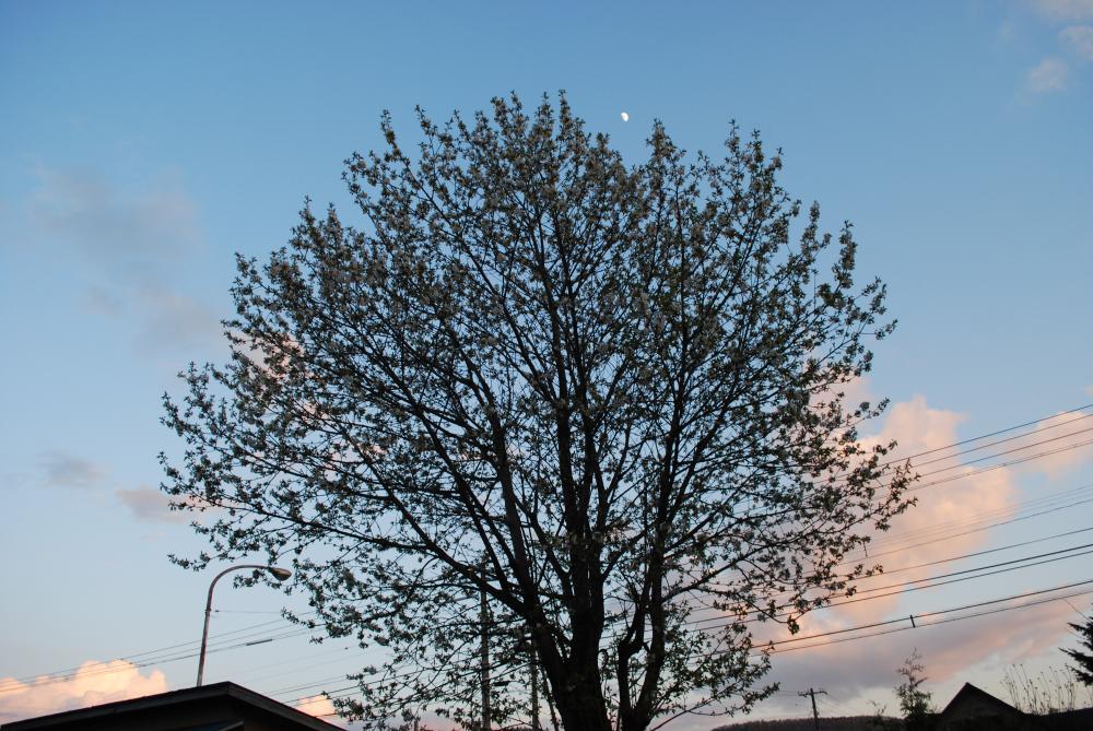 2010.5.22の桜と月とか