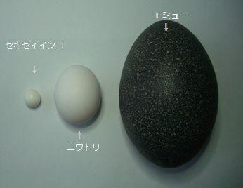 エミューの卵