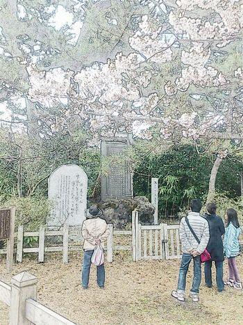 勿来の関 桜