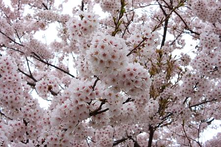 夏井川堤防の桜