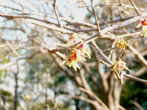 2010.2.20-東京ぶらりひとり旅005~東御苑037~二の丸庭園14ロウバイ