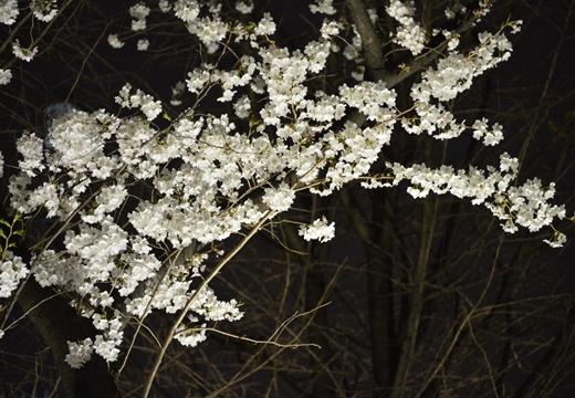 隅田公園 (98)_R