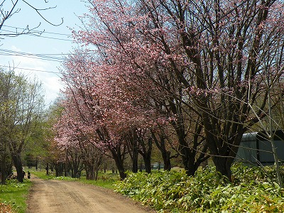 仁伏の桜は7分咲き