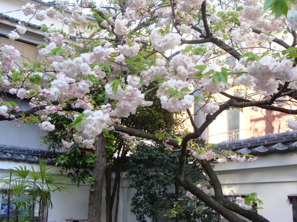 本所吉良邸後のしだれ桜_convert_20100430111527