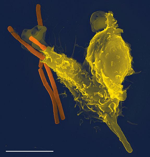 好中球が炭疽菌を取り込む