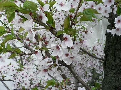 桜 葉っぱがでてきました