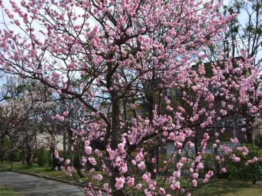 桜狩(3)