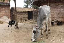 ヴァイシャリ牛