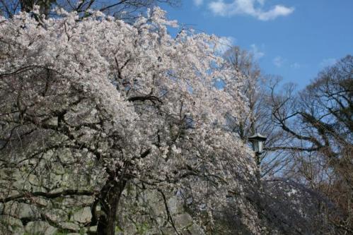 舞鶴公園の枝垂れ桜