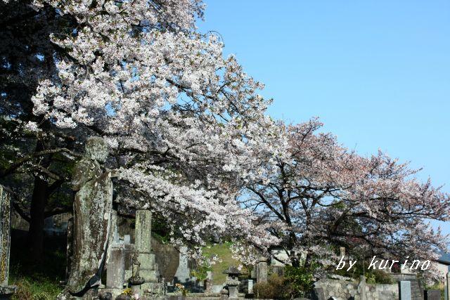 円応寺の桜と仏様
