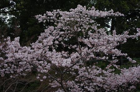 香取神宮の桜6