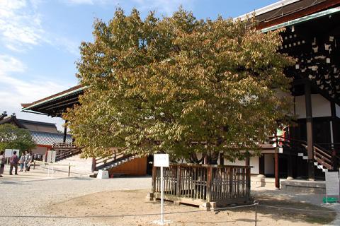左近の桜からの紫宸殿