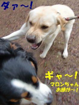 ぎゃ~!マロンちゃん来た~!!