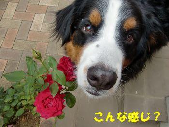 こんな感じに薔薇と一緒~!