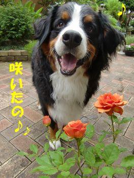 オレンジの薔薇が咲いたの♪