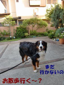 お散歩は・・・まだい~の!