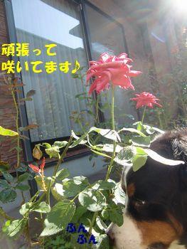 薔薇も咲いてるね~。暑いのに~。