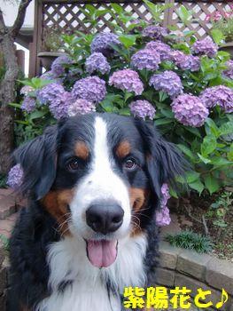 紫陽花の色ついたの~♪