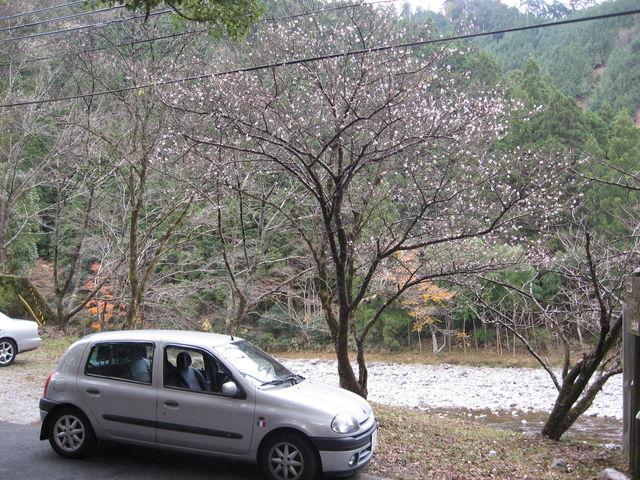 寒桜とルー
