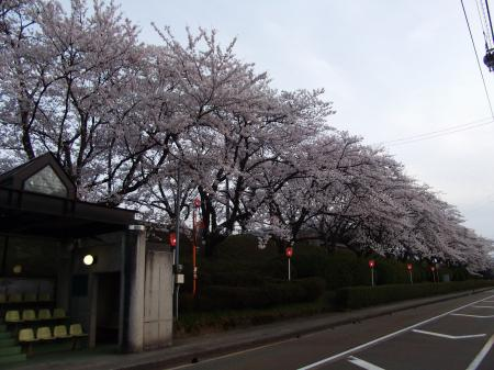 2012鹿島中桜