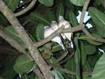 ケアンズ市内で見た鳥
