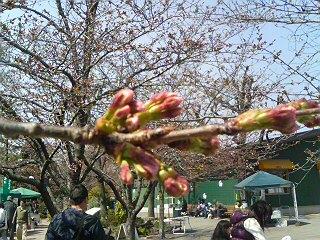 宝塚ガーデンフィールズ桜つぼみ