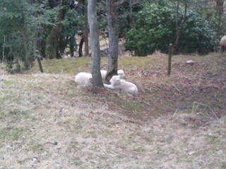 六甲牧場羊の子供