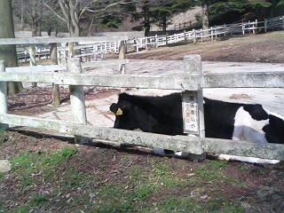 六甲牧場牛さん