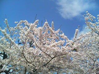 宝塚 サクラ 12.04.14-1
