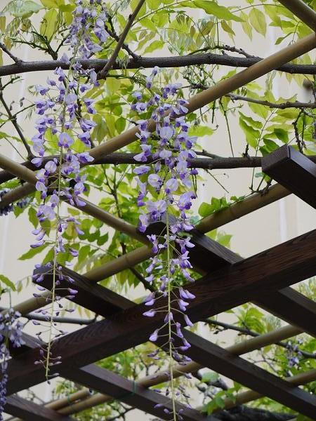 玉川春日神社前の藤