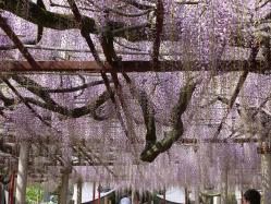 大歳神社の千年藤4