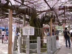 大歳神社の千年藤5