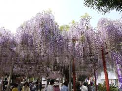 大歳神社の千年藤2