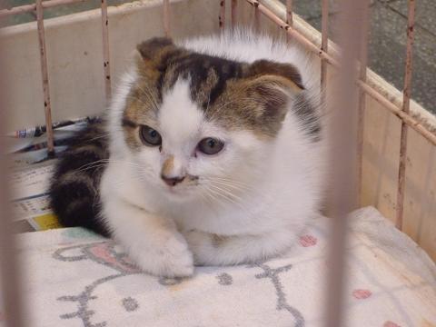 ペットショップの猫スコティッシュ