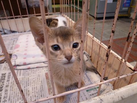 ペットショップの猫アビシニアン
