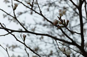 桜3分咲き