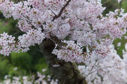 吉野山桜アップ
