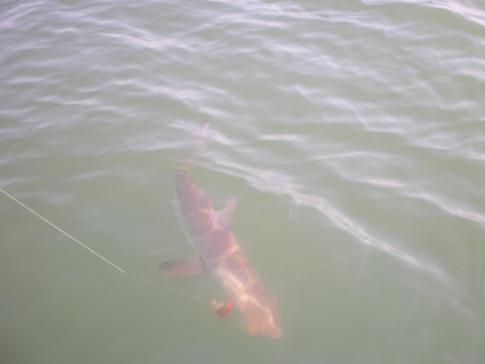 インチクを持って行ったサメ