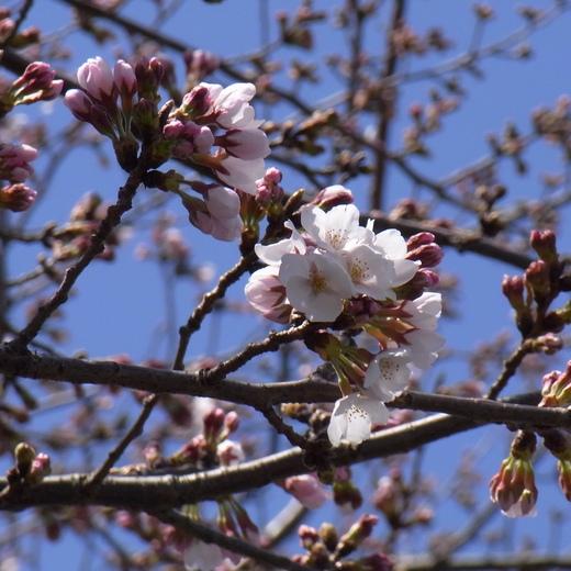 門池公園の桜