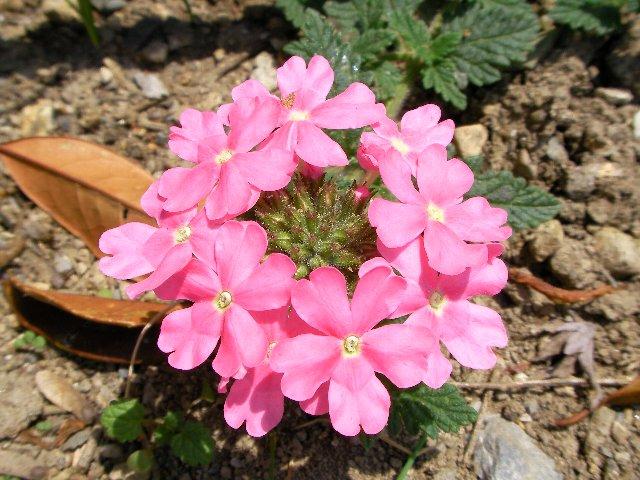 花壇の花②